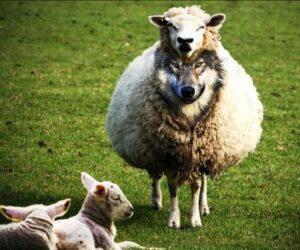 προβατο