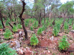 Χασις φυτεια καλλιεργεια